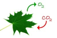 Photosynthesis Leaf CO2 + O2
